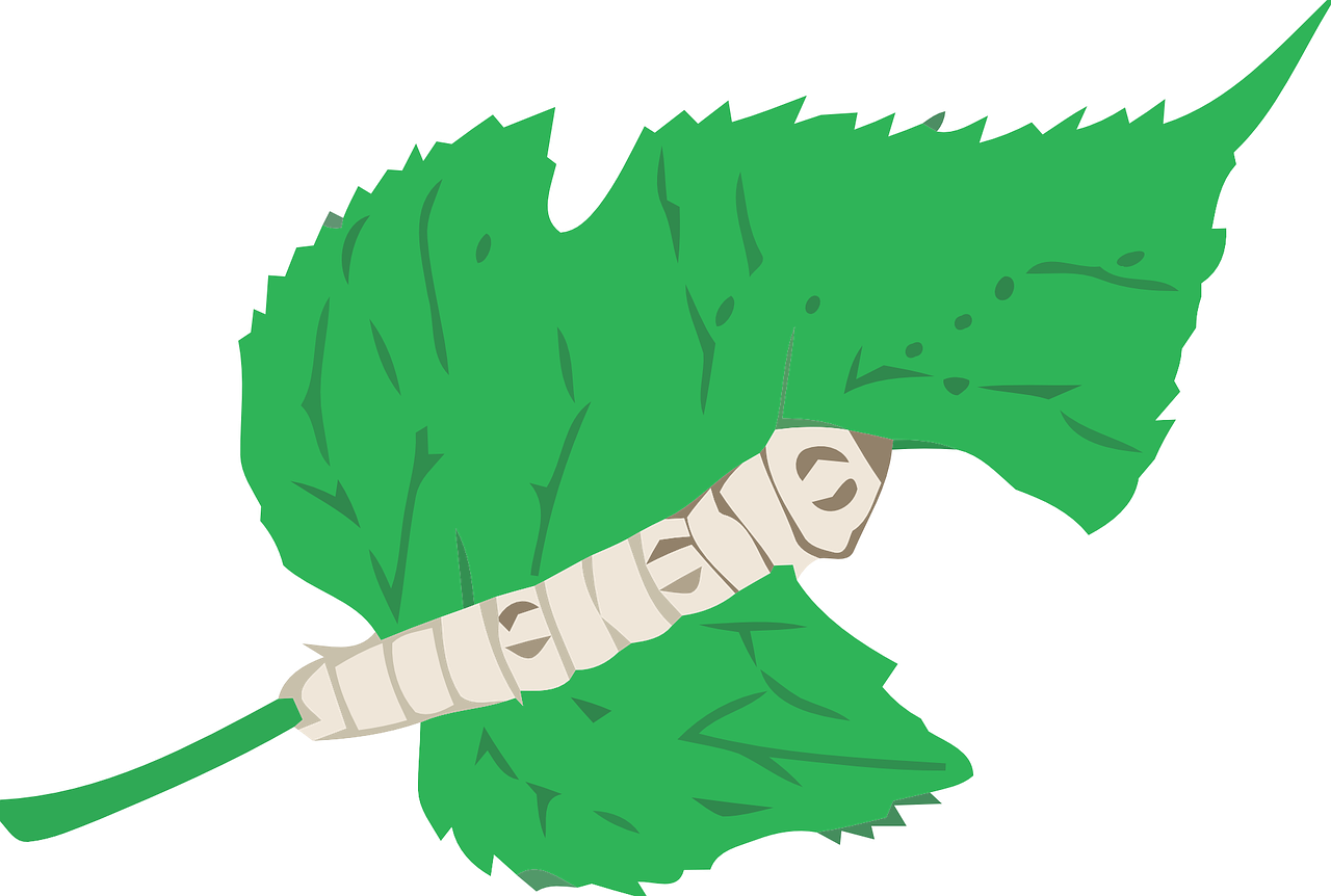 SIlkworm eating a Mulberry Leaf
